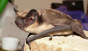 Ratpenat argentat, una espècie fins ara desconeguda a Catalunya Foto: ARXIU.
